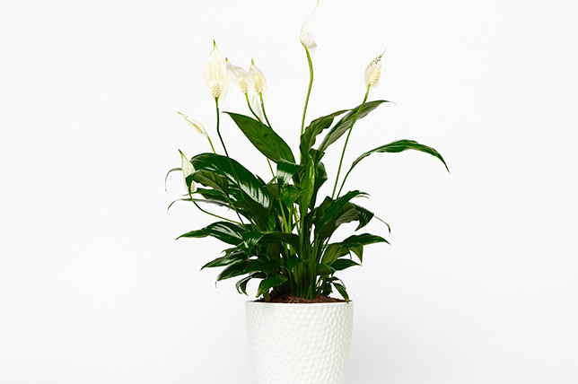 Peace Lily Zimmerpflanzen